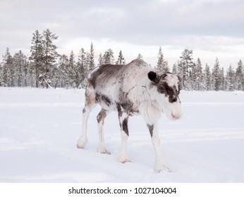 Rain deer on winter field