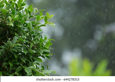 rain drop falling on green leaf tree natural background