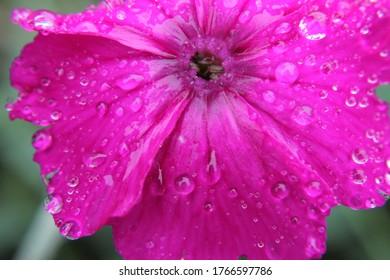 Regentropfen auf rosafarbenem Blumenkopf, Nahaufnahme