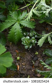 Rain drops gather on foliage of sedum, surrounded by wet green potentilla leaves