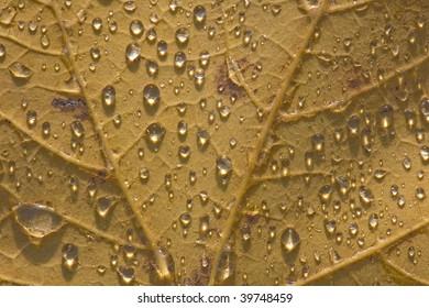 rain drops on autumn leaf