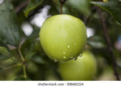 Rain drops on green apple right after the rain