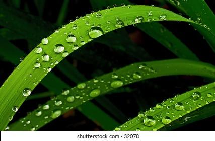 Rain drops on the leaf of a Matt rush.