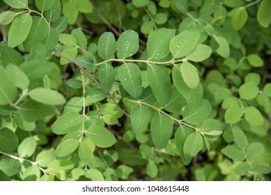 Rain drops on leaflets or leaves in meadow