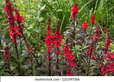 Rain Drops on Lobelia cardinalis 'Queen Victoria' (Cardinal Flower or Bog Sage) in a Country Cottage Garden in Rural Devon, England, UK