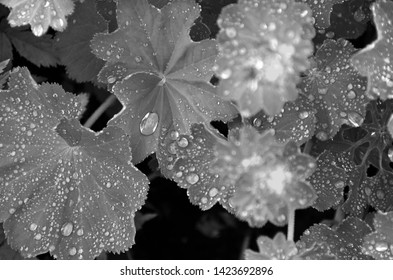 Rain drops on Lady's Mantel (Alchemilla mollis). Black and White