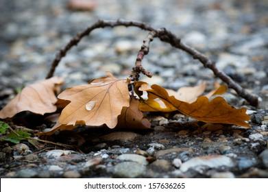 Rain drops on the oak leaf