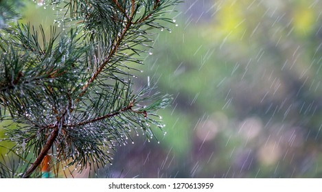 Rain drops on the pine needles background