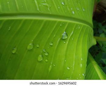 Rain drops on the young green banana leaf.