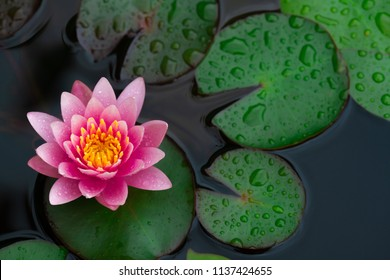 Rain drops water of beautiful pink waterlily or lotus flower in pond for text or decorative artwork.