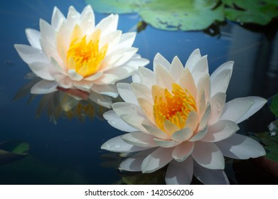 Rain drops water of beautiful waterlily or lotus flowers blooming at the pond with green leaves as background.Blooming Violet Lotus flowers with Soft blurred background of dark leaves from an old pond