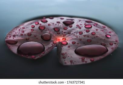 Rain drops water of beautiful waterlily or lotus