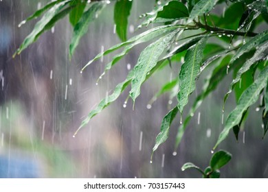 rain falling on green leave , drop rain on green leave