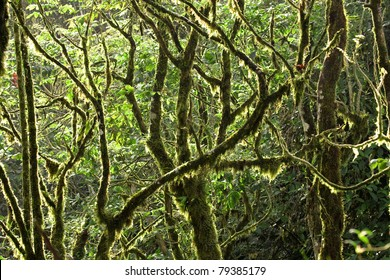 Rain forest canopy with nearly every branch covered in moss