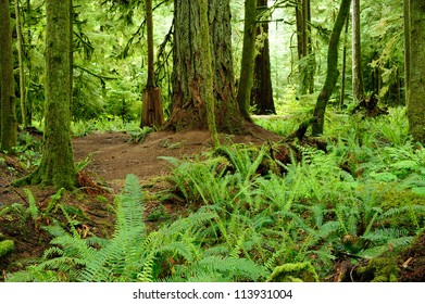 rain forest in macmillan provincial park in vancouver island, british columbia, canada