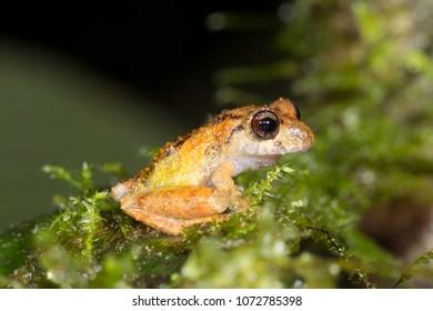 Rain frog (Pristimantis sp.) in the rainforest understory at night in Morona Santiago province, Ecuador.