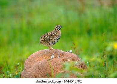 The rain Quail The Rain Quail can be found easily in open grasslands.