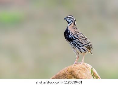 Rain Quail or Coturnix coromandelica, brown bird standing on stone with blur background in Thailand.