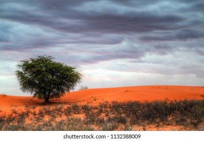 A rain storm approaches with dark clouds over the Kalahari desert. Red dunes with a single camelthorn tree.