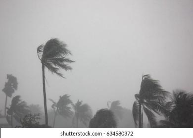 rain storm impact coconut tree
