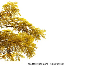 Rain tree ( albizia saman ) isolated on white background.