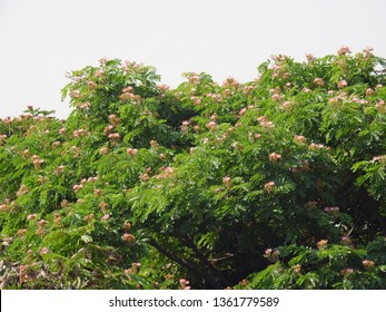Rain Tree (Albizia Saman) or Monkey Pod Tree