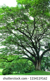 Rain tree or Albizia saman is a wide-canopied tree with a large symmetrical crown, Chiang Mai, Thailand