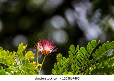 Rain Tree flowers (Albizia saman) on tree with bokeh background. / Albizia saman flower. / Rain tree flower with leaves.