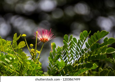 Rain Tree flowers (Albizia saman) on tree with bokeh background. / Albizia saman flower. / Rain tree flower with leaves.