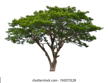 Rain tree isolated on white background  (Albizia saman, East Indian Walnut, Monkey Pod, Samanea Saman