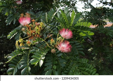 Rain tree or monkeypod (Albizia saman) is a species of flowering tree in the pea family, Fabaceae, that is native to the South America