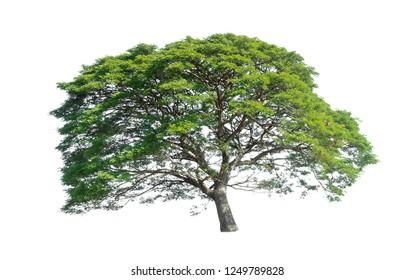 Rain tree or Raintree isolated on white background