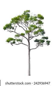 Rain tree, tropical rainforest tree isolated on white background