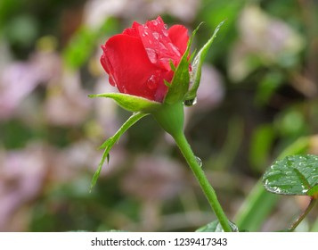 Rain water drop falls off blooming red rose flower close up. Reflections in water drops, wet, after raining, fresh morning dew, natural background.