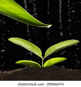 Rain Water Drop to Green Leaf