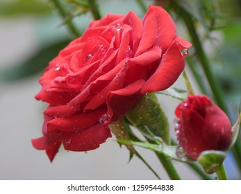 Rain water drops fall off blooming red rose flower close up. Reflections in water drops, wet, after raining, fresh morning dew, natural background.