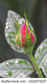 Rain water drops fall off blooming red rosebud close up. Reflections in the water drops, wet, after raining, fresh morning dew, natural background.