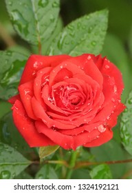Rain water drops on blooming red rose flower close up. Reflections in water drop, wet, after raining, fresh morning dew, natural background.
