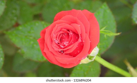 Rain water drops on blooming red rose macro, close up. Wet, after raining, fresh morning dew, natural background.
