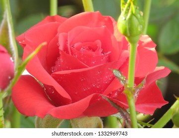 Rain water drops on blooming red rose flower macro. Red rose close up, wet, after raining, fresh morning dew, natural background.