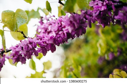 Rain water drops on cercis siliquastrum commonly flowers known as the Judas tree or Judas-tree branch in bloom it is a small deciduous tree from Southern Europe and Western Asia which with deep pink