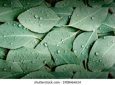 Rain water drops on eucalyptus gunnii leafs