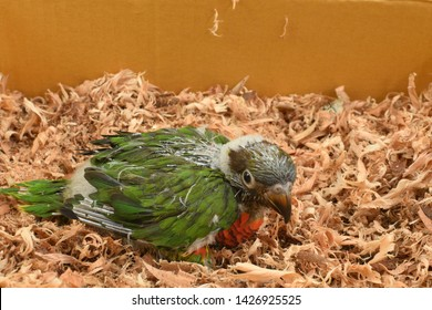Rainbow baby bird in nest. ( Lory  bird )