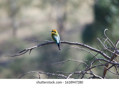 Rainbow bee eater perched on a leafless branch at Murrumbidgee river in Australia