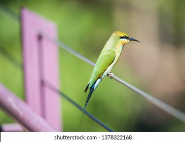Rainbow bee-eater bird, perched on purple fence cable, on a sunny day in Darwin, Australia