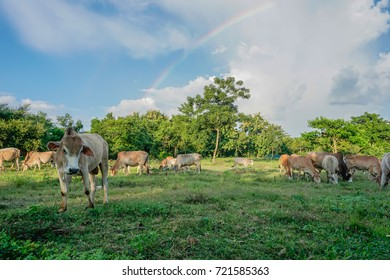 Rainbow behind animals farm