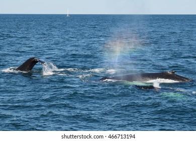 Rainbow blow of humpback