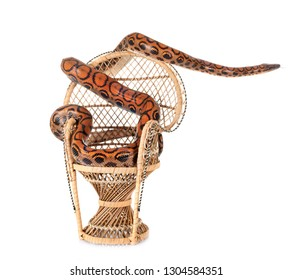 Rainbow boa in front of white background