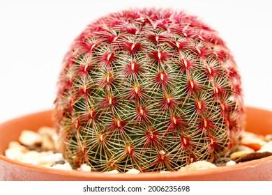 Rainbow Cactus close up shot on white background