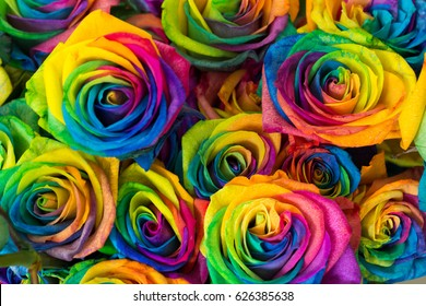 Rainbow color of rose